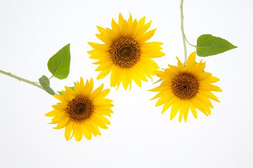 ひまわり「Sunflowers」:スマホ壁紙(0)