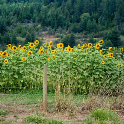 ひまわり「Sunflowers Growing in a Fenced Field」:スマホ壁紙(1)