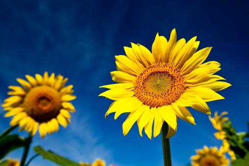 ひまわり「sunflowers」:スマホ壁紙(18)