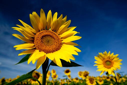 ひまわり「sunflowers」:スマホ壁紙(19)
