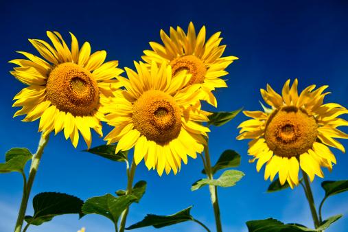 ひまわり「sunflowers」:スマホ壁紙(17)