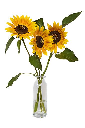 ひまわり「Sunflowers」:スマホ壁紙(8)