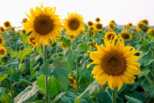ひまわり「Sunflowers」:スマホ壁紙(13)