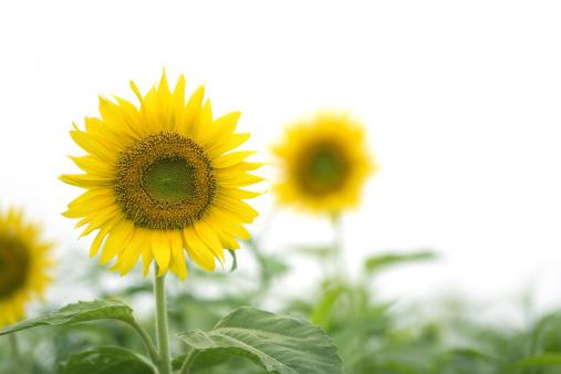 ひまわり「Sunflowers」:スマホ壁紙(16)