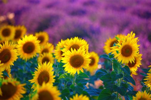 ひまわり「sunflowers 、ラベンダー畑プロヴァンス」:スマホ壁紙(6)