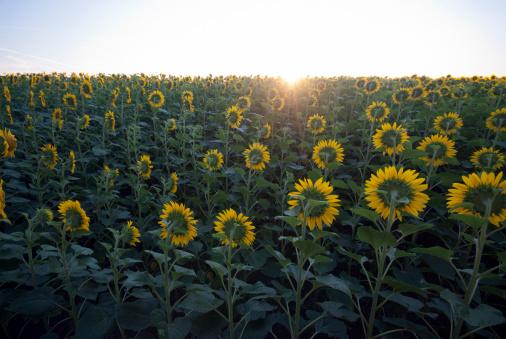 ひまわり「Sunflowers」:スマホ壁紙(11)