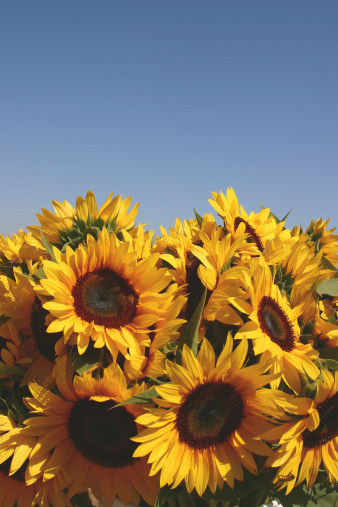 sunflower「Sunflowers (Helianthus annuus)」:スマホ壁紙(2)