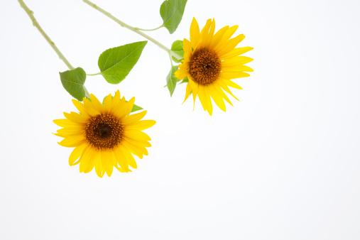 ひまわり「Sunflowers」:スマホ壁紙(14)