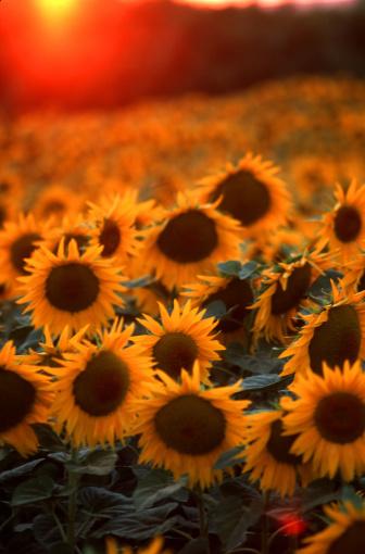 ひまわり「Sunflowers in Provence」:スマホ壁紙(14)