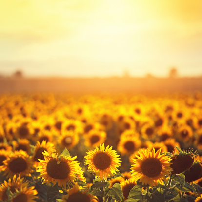 sunflower「sunflowers in Provence」:スマホ壁紙(3)