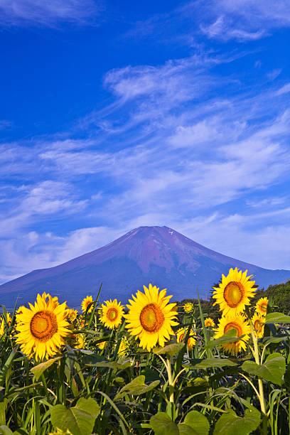 ヒマワリと富士山のまとめ:2010年08月07日(壁紙.com)