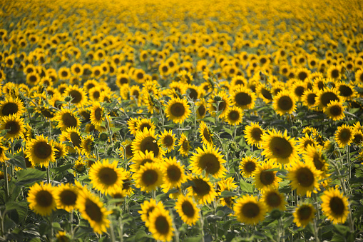 ひまわり「Sunflowers in Provence, France」:スマホ壁紙(19)