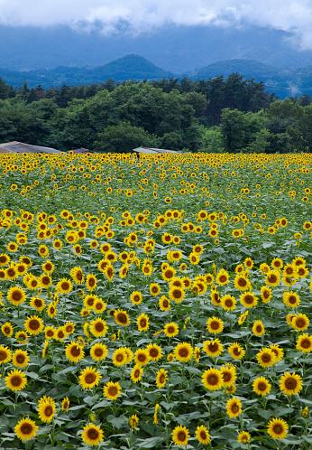 ひまわり「Sunflowers」:スマホ壁紙(4)