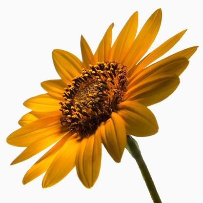 ひまわり「Sunflowers」:スマホ壁紙(3)