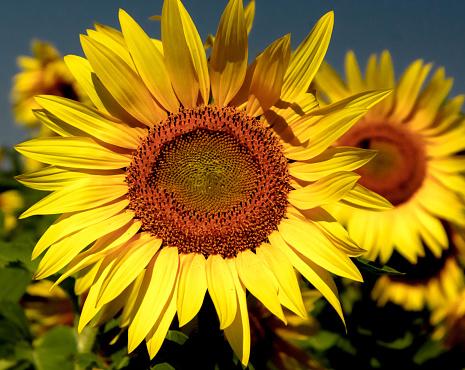 花頭「Sunflowers in a field, Minnesota, America, USA」:スマホ壁紙(18)