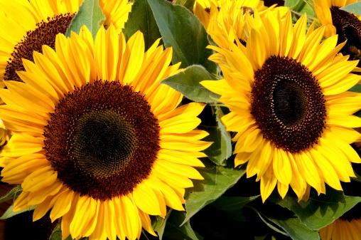 ひまわり「Sunflowers」:スマホ壁紙(12)