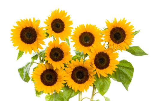 Continuity「sunflowers」:スマホ壁紙(18)
