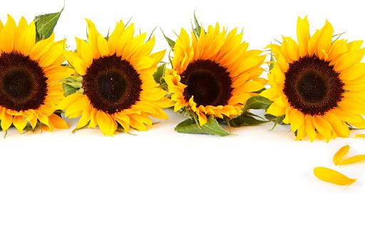 ひまわり「Sunflowers にホワイト」:スマホ壁紙(6)