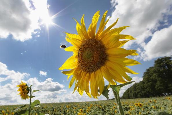 Sun「Sunflowers Are In Full Bloom」:写真・画像(3)[壁紙.com]