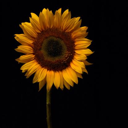 ひまわり「Sunflowers」:スマホ壁紙(7)