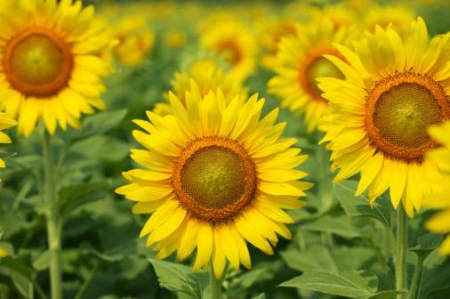 ひまわり「Sunflowers, Kanagawa Prefecture, Honshu, Japan」:スマホ壁紙(4)