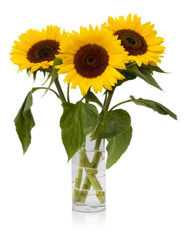 ひまわり「Sunflowers」:スマホ壁紙(15)