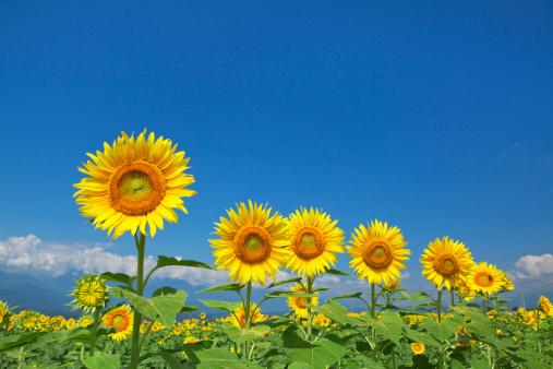ひまわり「Sunflowers, Yamanashi Prefecture, Honshu, Japan」:スマホ壁紙(9)