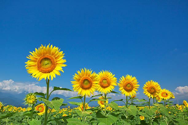 Sunflowers, Yamanashi Prefecture, Honshu, Japan:スマホ壁紙(壁紙.com)