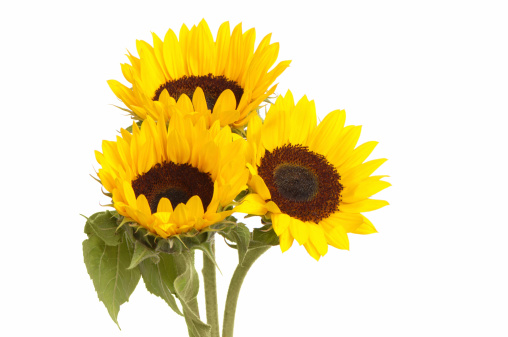 ひまわり「Sunflowers 白背景の背景」:スマホ壁紙(11)