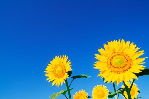 ひまわり「Sunflowers」:スマホ壁紙(9)