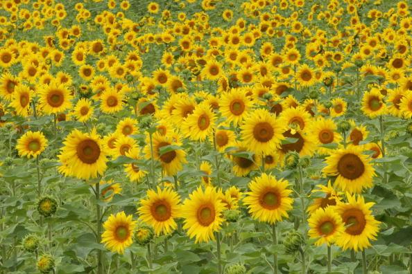 Ethanol「Sunflowers」:写真・画像(18)[壁紙.com]