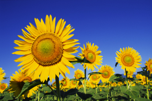 sunflower「Sunflowers against the blue sky」:スマホ壁紙(19)