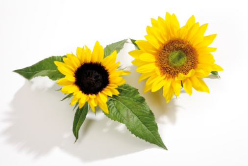 ひまわり「Sunflowers, (Helianthus), close-up」:スマホ壁紙(4)