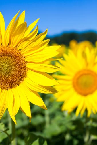 ひまわり「Sunflowers クローズアップ」:スマホ壁紙(14)