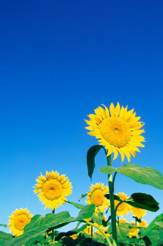 ひまわり「Sunflowers」:スマホ壁紙(5)