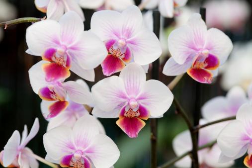 花「美しい蘭の花」:スマホ壁紙(3)
