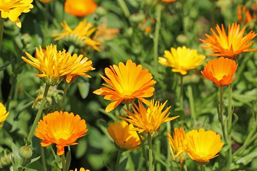 Floral Pattern「Beautiful orange calendula officinalis on stem」:スマホ壁紙(1)
