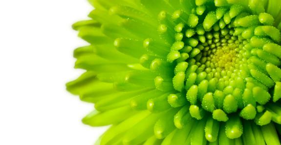 Chrysanthemum「Green Chrysanthemum」:スマホ壁紙(8)