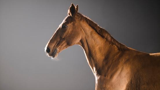 Horse「Chestnut horse on black background」:スマホ壁紙(3)