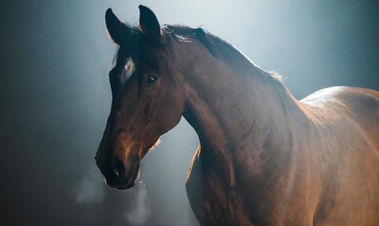 Horse「Chestnut horse on black background」:スマホ壁紙(12)