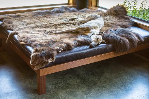 かわいい「動物の皮に横になって眠っているグレイハウンド犬」:スマホ壁紙(15)