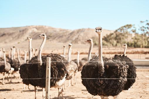 Flock Of Birds「Roaming around the ostrich farm」:スマホ壁紙(2)
