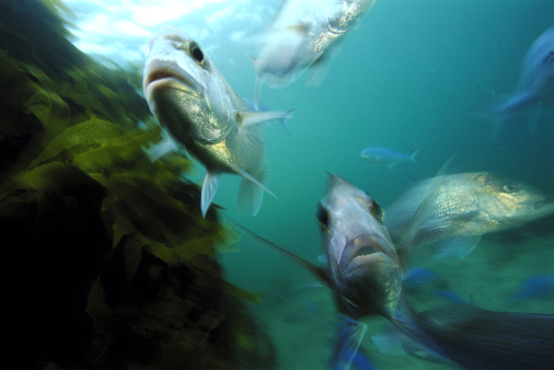 ゴート島海洋保護区「snapper pagrus auratus goat isl., new zealand」:スマホ壁紙(0)