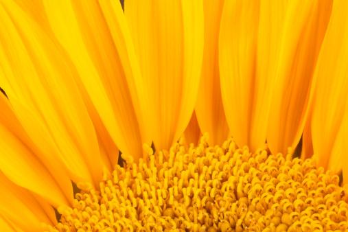 ひまわり「サンフラワー、黄色、パターン、バックグラウンド、花、ペタルズ」:スマホ壁紙(14)