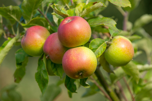 Norfolk - England「Apple 'Red Windsor, ripe fruit, Norfolk UK」:スマホ壁紙(11)