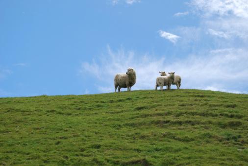 New Zealand「Ewe and Lambs」:スマホ壁紙(9)