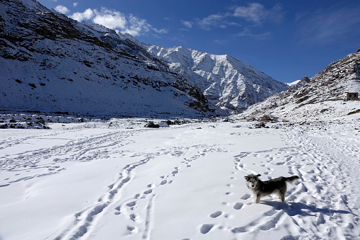 犬「Dog in snow in the Stok Valley, Ladakh, India」:スマホ壁紙(11)