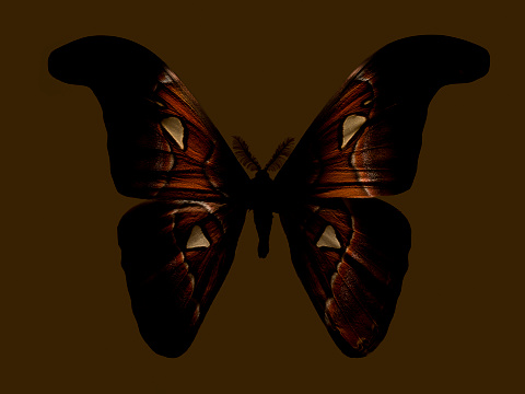 Specimen Holder「Big Brown Moth」:スマホ壁紙(5)