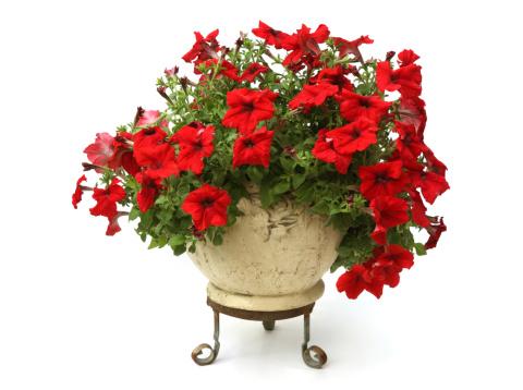 ペチュニア「レッドペチュニア花」:スマホ壁紙(11)