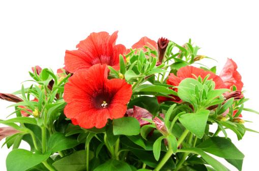 ペチュニア「赤色ペチュニア花の花の背景に白色」:スマホ壁紙(10)